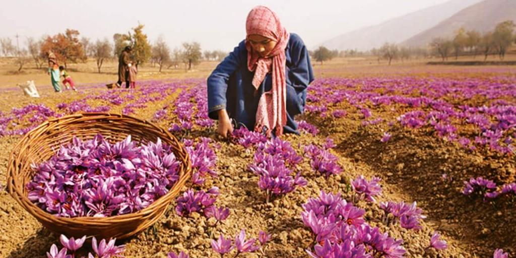 Saffron fields | Kashmir Tour Kesari tours
