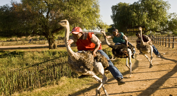 Kesari-Tours-Ride-an-ostrich-in-Oudtshoorn