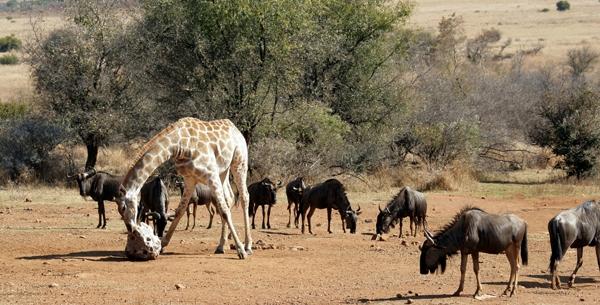 Kesari tours pilanesberg national park