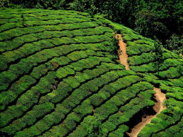 tea_garden_munnar