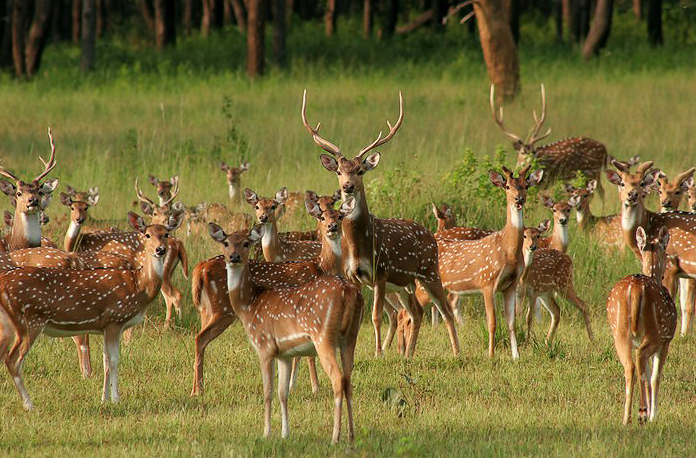 Kesari-Tours-Kanha-National-Park-deer