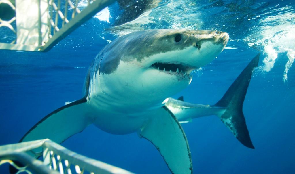 1 sharks