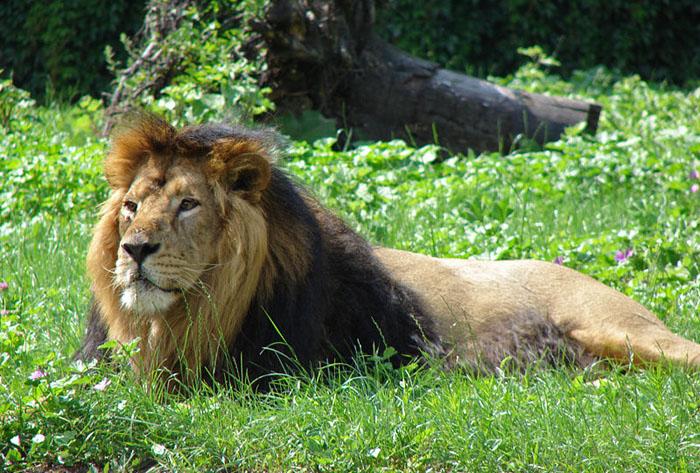 1. Gir forest lion, kesari tours