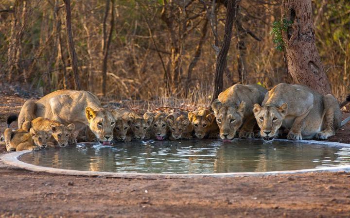 3. Charming view of lions, kesari tours