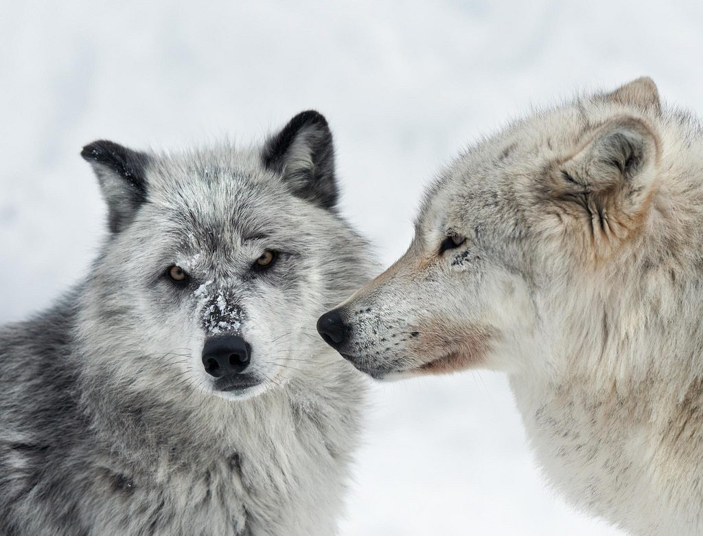 The Yellowstone national park - Grizzly and Wolf Discovery Center - Kesari Tours